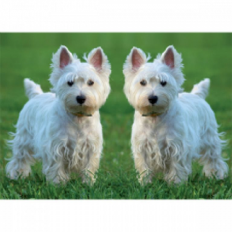 West Highland Terrier card two on grass